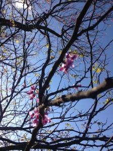 redbud_blossoms